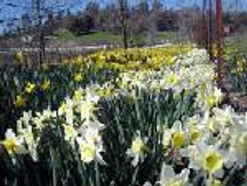Daffodils at Ironstone Vineyards